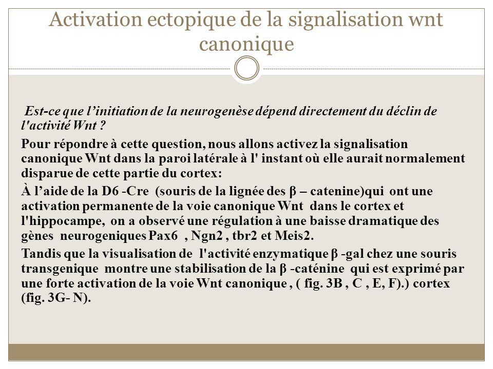 Activation ectopique de la signalisation wnt canonique Est-ce que linitiation de la neurogenèse dépend directement du déclin de l'activité Wnt ? Pour