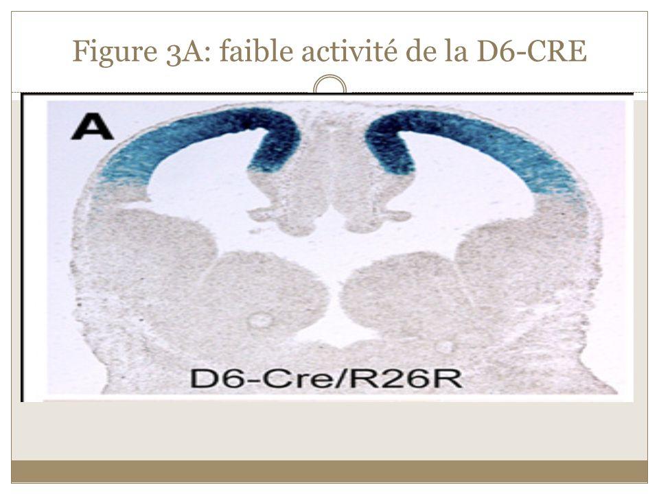 Figure 3A: faible activité de la D6-CRE