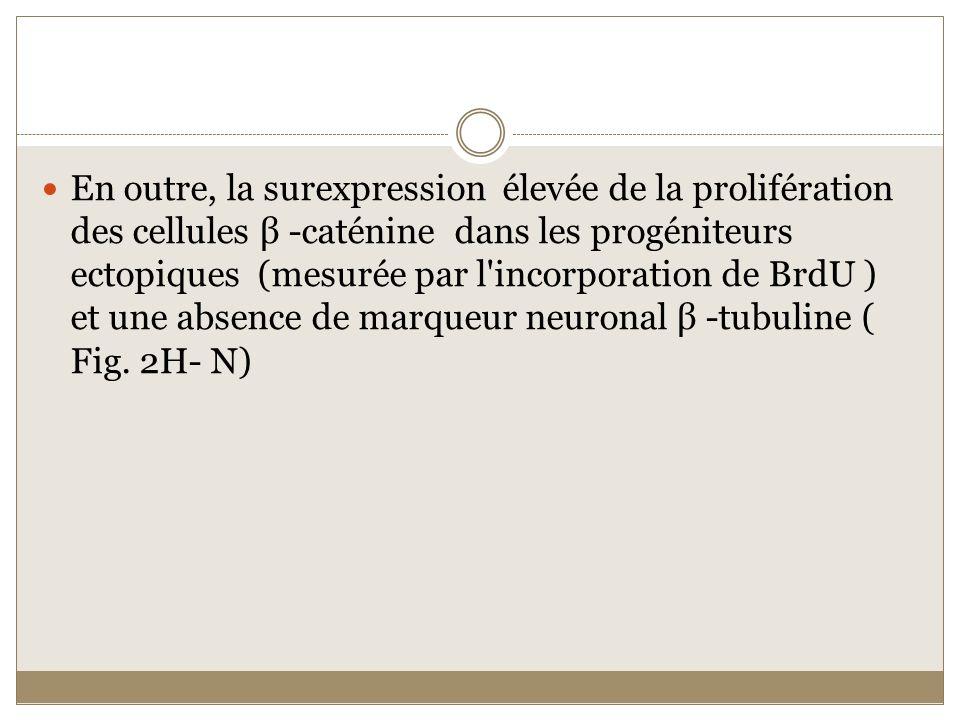 En outre, la surexpression élevée de la prolifération des cellules β -caténine dans les progéniteurs ectopiques (mesurée par l'incorporation de BrdU )