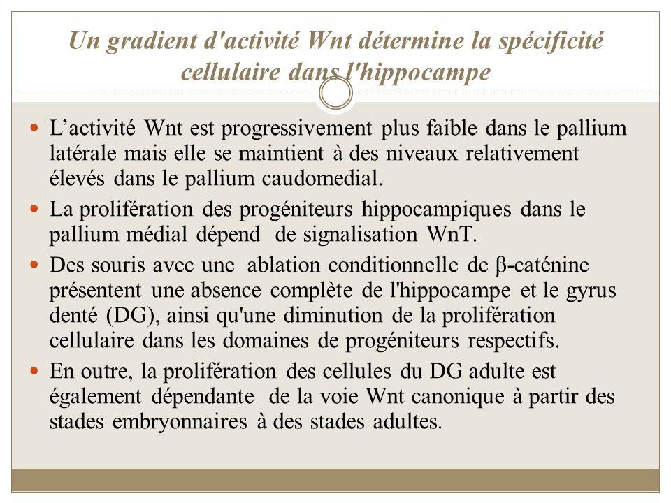 Un gradient d'activité Wnt détermine la spécificité cellulaire dans l'hippocampe Lactivité Wnt est progressivement plus faible dans le pallium latéral