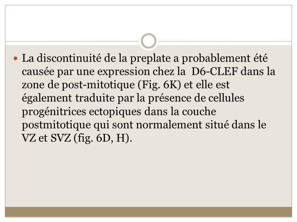 La discontinuité de la preplate a probablement été causée par une expression chez la D6-CLEF dans la zone de post-mitotique (Fig. 6K) et elle est égal