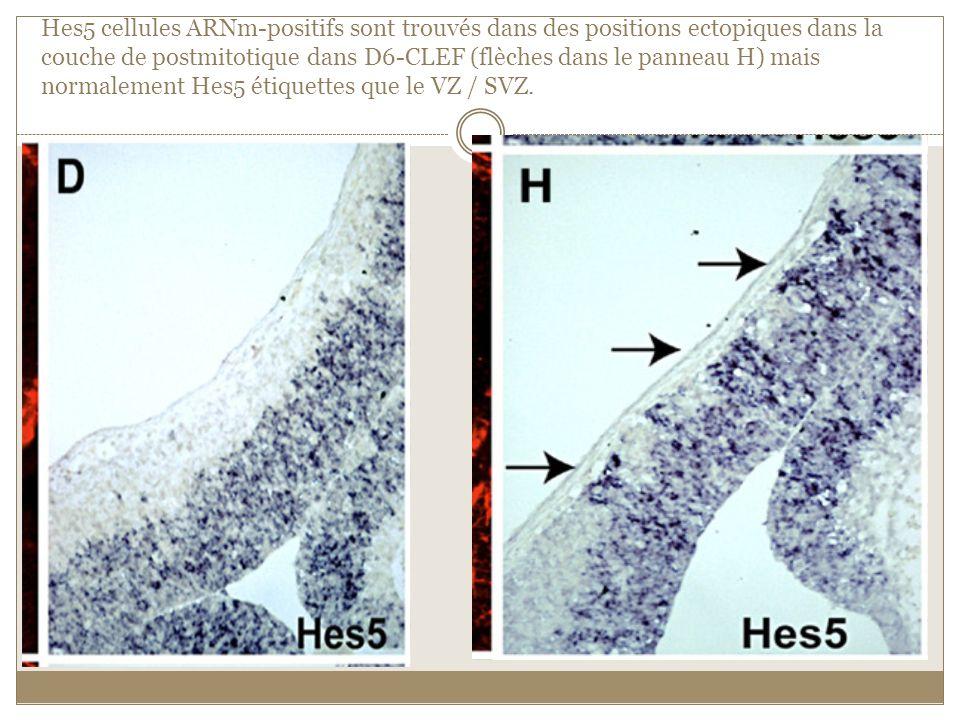 Hes5 cellules ARNm-positifs sont trouvés dans des positions ectopiques dans la couche de postmitotique dans D6-CLEF (flèches dans le panneau H) mais n