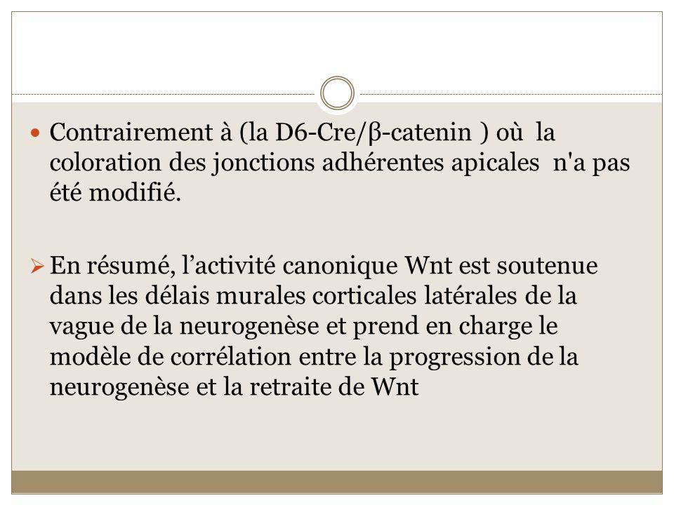 Contrairement à (la D6-Cre/β-catenin ) où la coloration des jonctions adhérentes apicales n'a pas été modifié. En résumé, lactivité canonique Wnt est