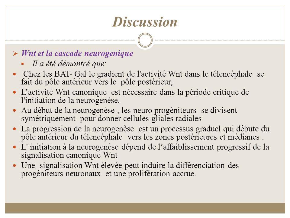 Discussion Wnt et la cascade neurogenique Il a été démontré que: Chez les BAT- Gal le gradient de l'activité Wnt dans le télencéphale se fait du pôle