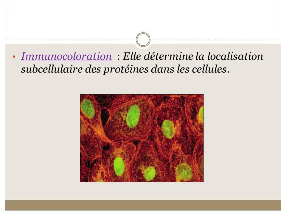 Linfluence de la wnt canonique sur l adhésion cellulaire La β-caténine cytoplasmique est une partie du cytosquelette tres important pour assurer la communication cellulaire et la migration correcte, elle est présente dans les jonctions adhérentes dans la membrane apicale du neuroépithélium.
