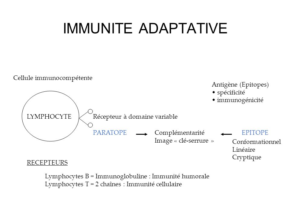 IMMUNITE ADAPTATIVE Cellule immunocompétente Récepteur à domaine variable PARATOPEComplémentarité Image « clé-serrure » EPITOPE Antigène (Epitopes) spécificité immunogénicité Conformationnel Linéaire Cryptique RECEPTEURS Lymphocytes B = Immunoglobuline : Immunité humorale Lymphocytes T = 2 chaînes : Immunité cellulaire LYMPHOCYTE