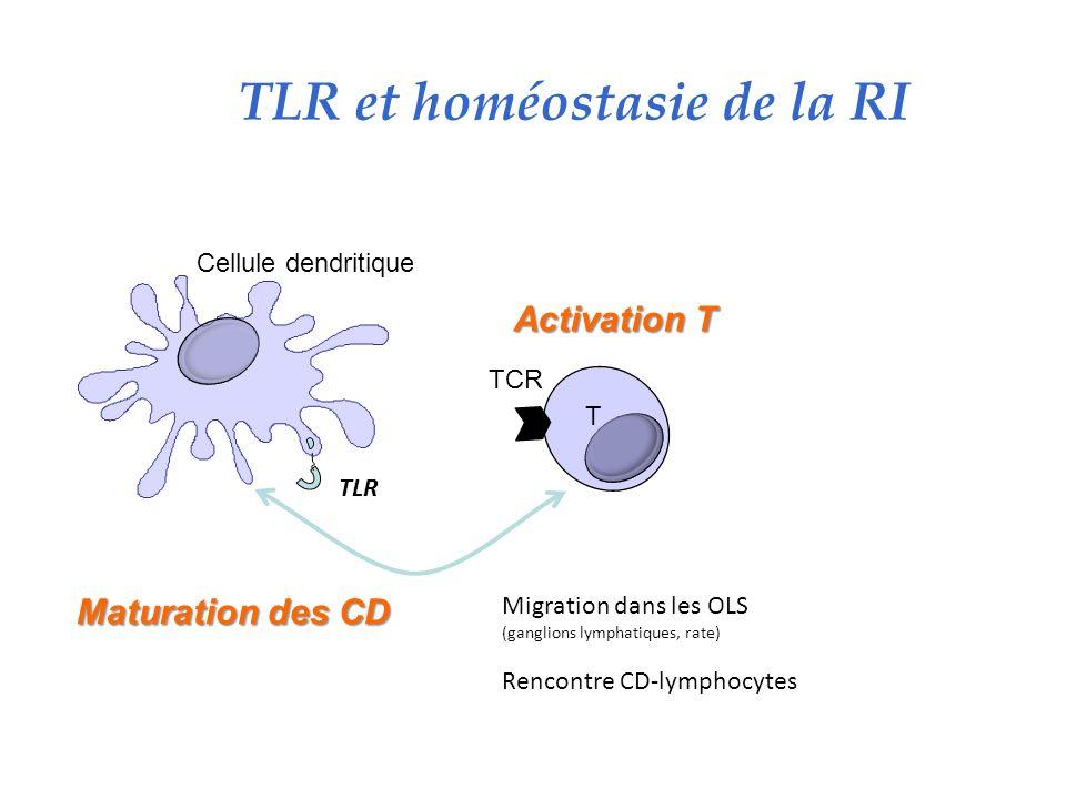 TLR et homéostasie de la RI TLR Maturation des CD Activation T T TCR Cellule dendritique Migration dans les OLS (ganglions lymphatiques, rate) Rencontre CD-lymphocytes