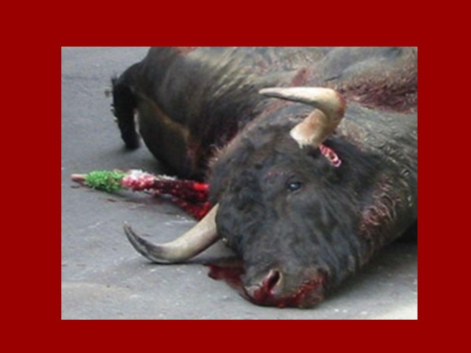La suite …..Avant dêtre dépecé, le taureau est vite trainé hors de larêne.