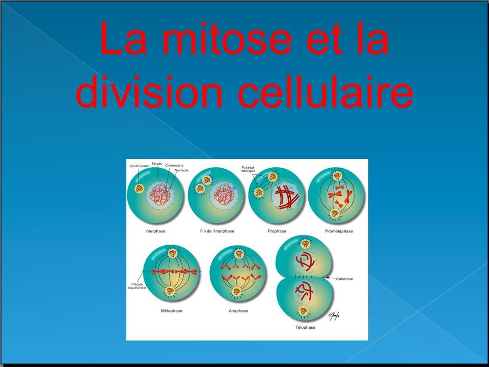Le cycle animé de la mitose http://www.cellsalive.com/mitosis.htm Interphase Prophase Métaphase Anaphase Télophase & Cytocinèse La division du noyau dune cellule somatique par la MITOSE
