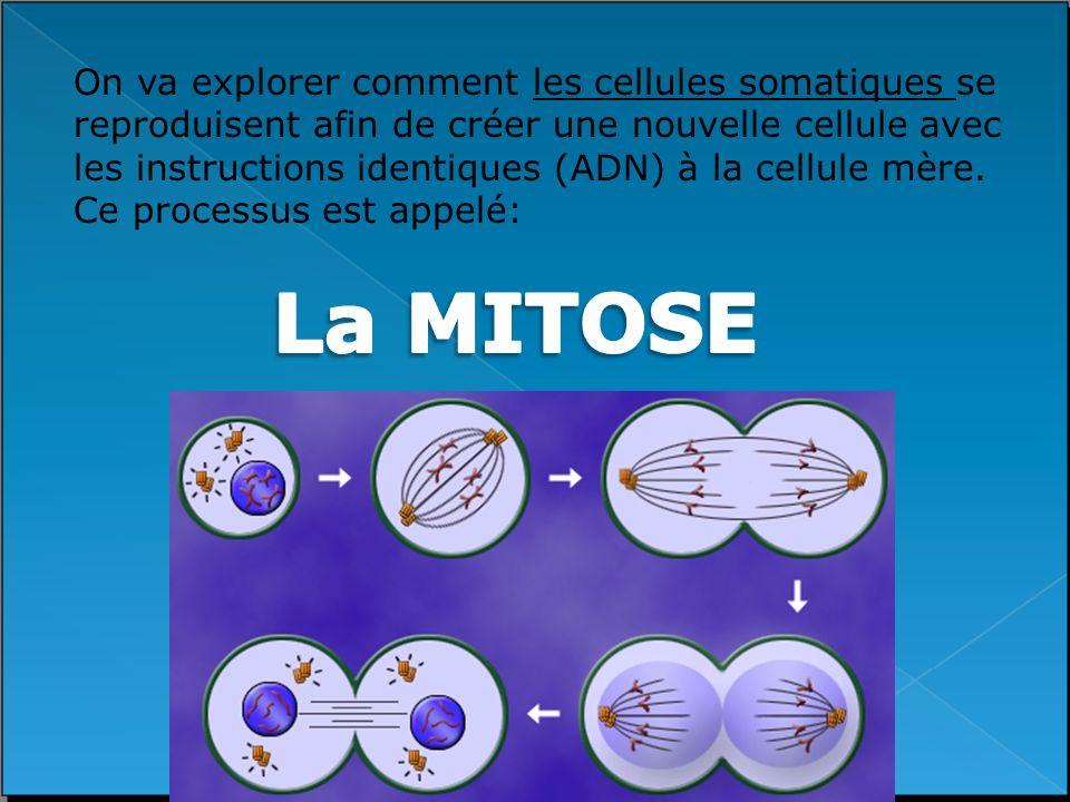 On va explorer comment les cellules somatiques se reproduisent afin de créer une nouvelle cellule avec les instructions identiques (ADN) à la cellule