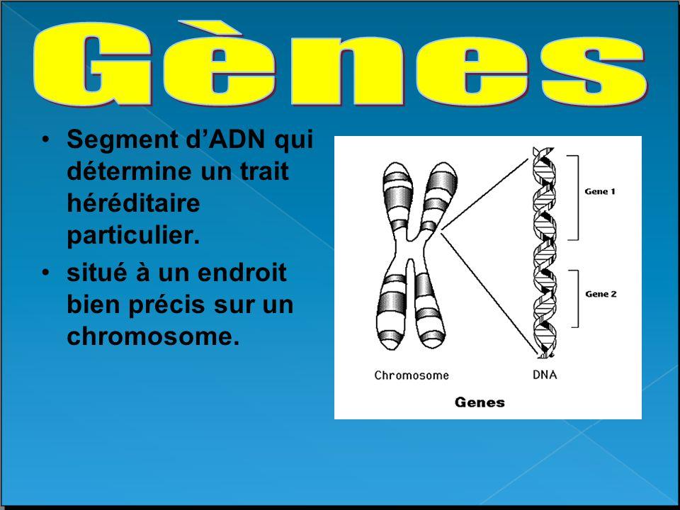 Segment dADN qui détermine un trait héréditaire particulier. situé à un endroit bien précis sur un chromosome.