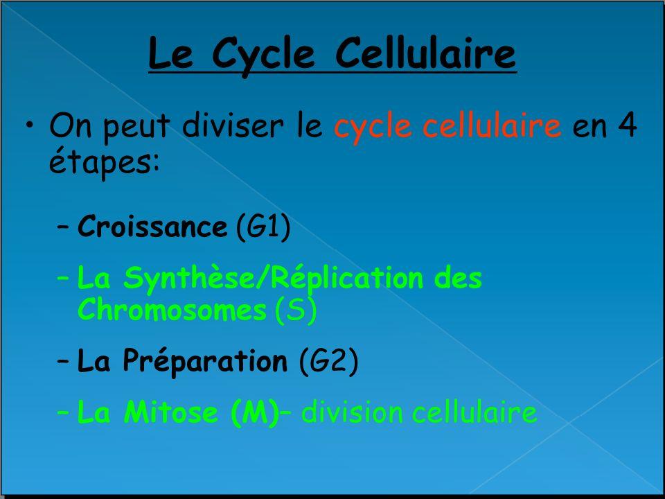 Le Cycle Cellulaire On peut diviser le cycle cellulaire en 4 étapes: –Croissance (G1) –La Synthèse/Réplication des Chromosomes (S) –La Préparation (G2