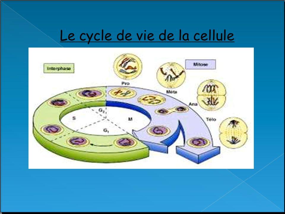 Le cycle de vie de la cellule