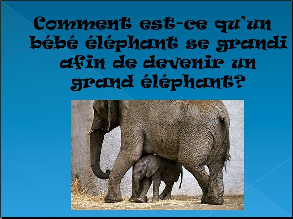 Comment est-ce quun bébé éléphant se grandi afin de devenir un grand éléphant?