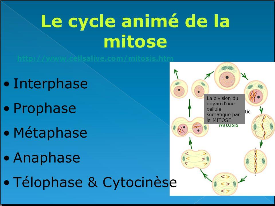 Le cycle animé de la mitose http://www.cellsalive.com/mitosis.htm Interphase Prophase Métaphase Anaphase Télophase & Cytocinèse La division du noyau d