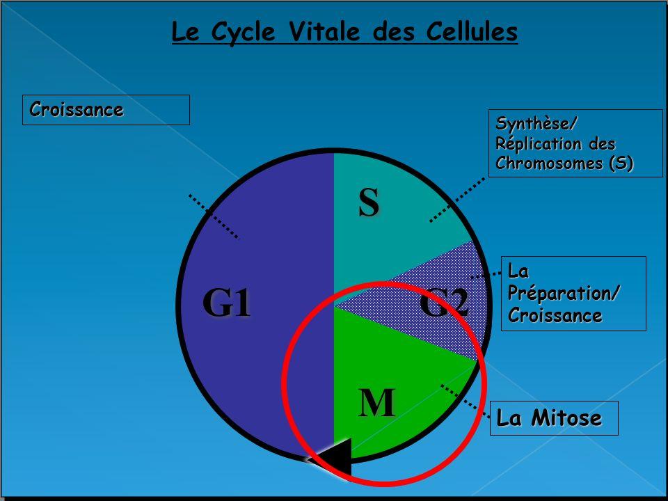 G1 M M G2 S S Le Cycle Vitale des Cellules Croissance Synthèse/ Réplication des Chromosomes (S) La Préparation/ Croissance La Mitose