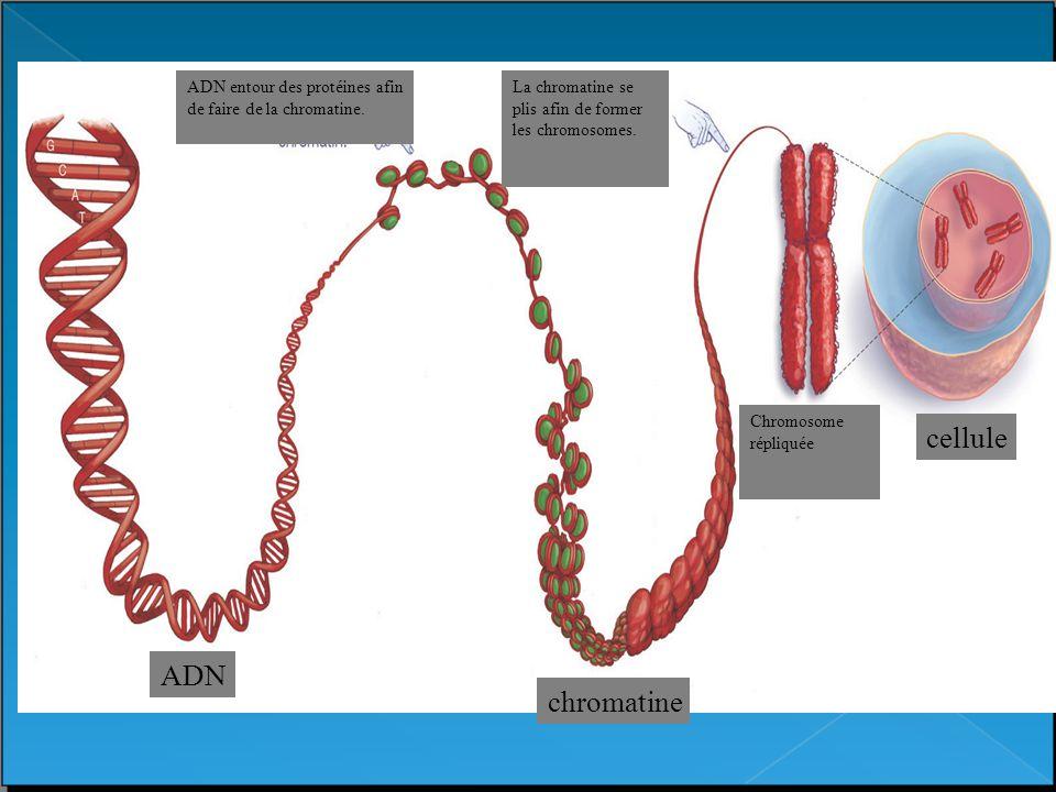 chromatin ADN ADN entour des protéines afin de faire de la chromatine. La chromatine se plis afin de former les chromosomes. Chromosome répliquée chro