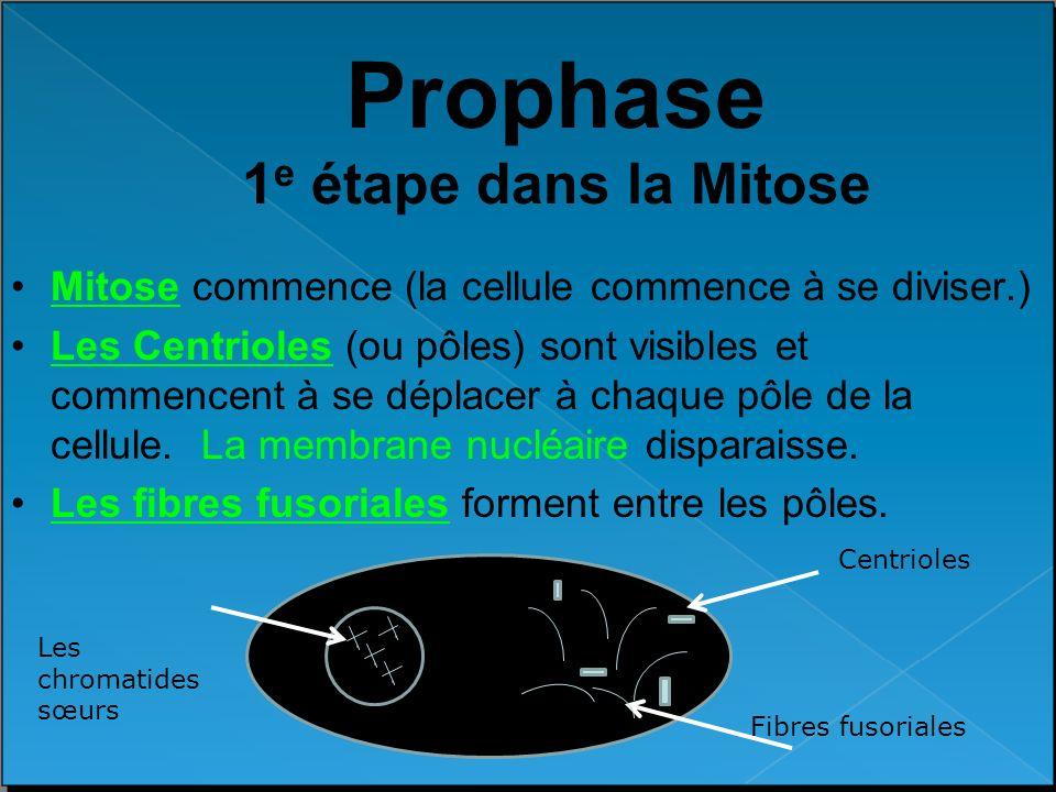 Prophase 1 e étape dans la Mitose Mitose commence (la cellule commence à se diviser.) Les Centrioles (ou pôles) sont visibles et commencent à se dépla