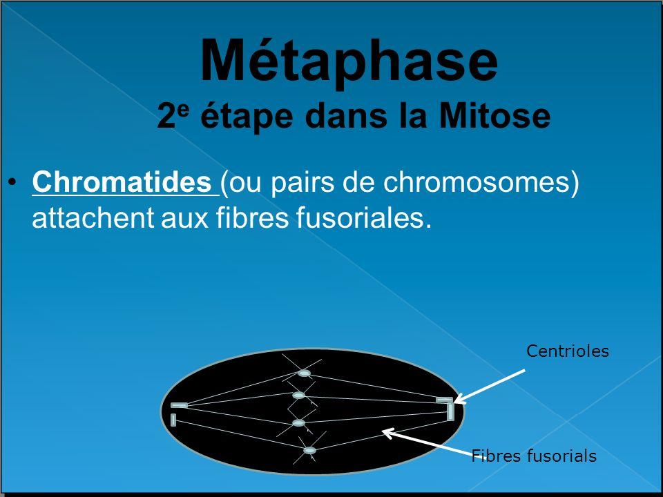 Métaphase 2 e étape dans la Mitose Chromatides (ou pairs de chromosomes) attachent aux fibres fusoriales. Centrioles Fibres fusorials