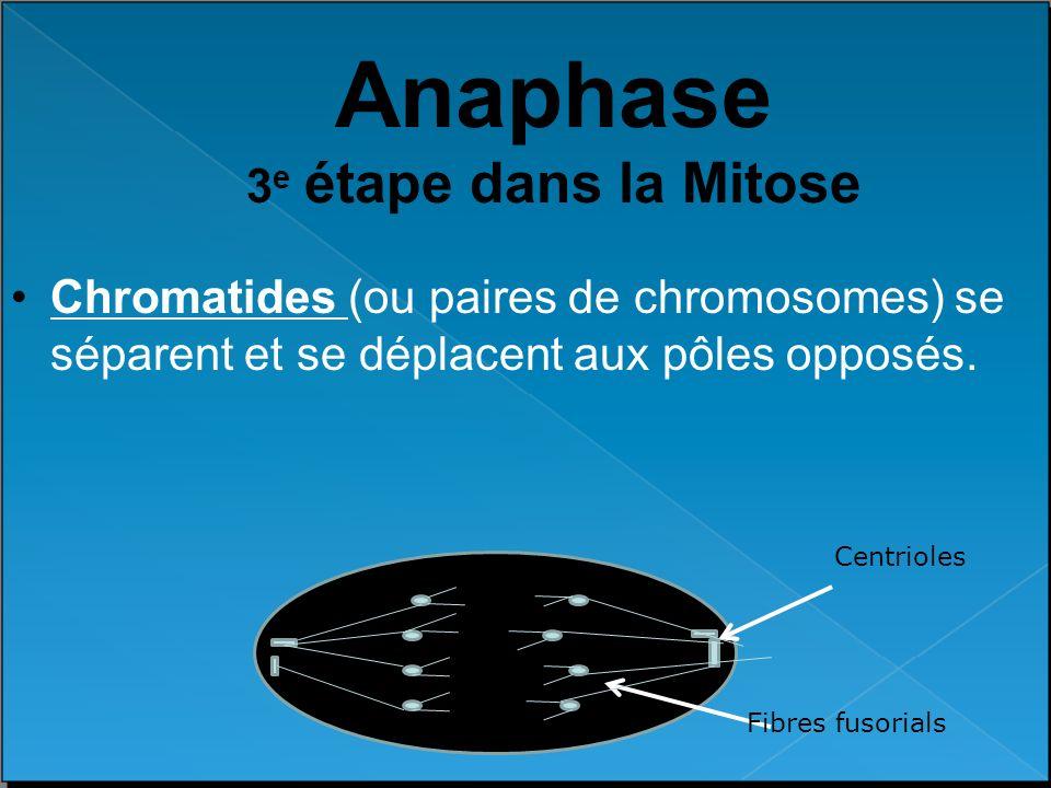 Anaphase 3 e étape dans la Mitose Chromatides (ou paires de chromosomes) se séparent et se déplacent aux pôles opposés. Centrioles Fibres fusorials