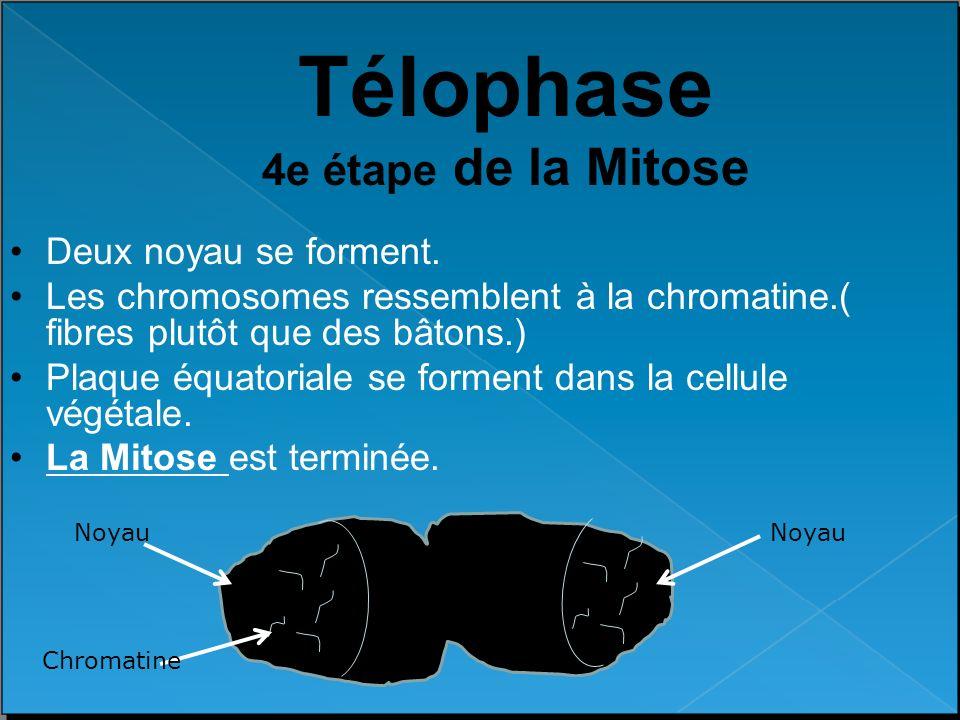 Télophase 4e étape de la Mitose Deux noyau se forment. Les chromosomes ressemblent à la chromatine.( fibres plutôt que des bâtons.) Plaque équatoriale