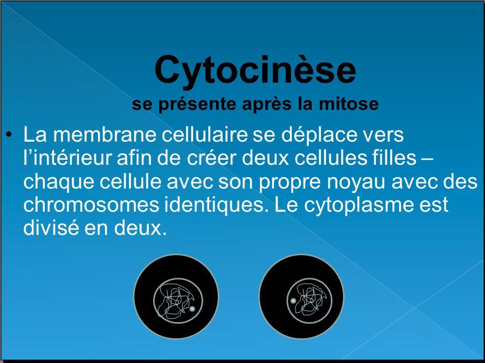 Cytocinèse se présente après la mitose La membrane cellulaire se déplace vers lintérieur afin de créer deux cellules filles – chaque cellule avec son