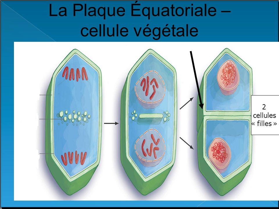 La Plaque Équatoriale – cellule végétale 2 cellules « filles »