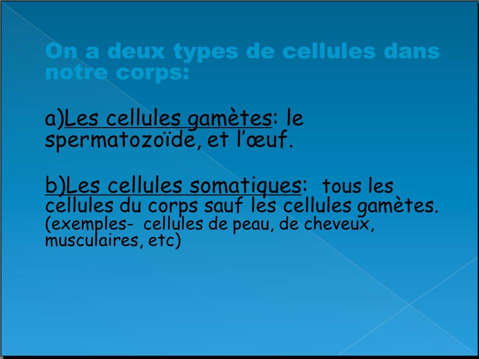 Le Cycle Cellulaire On peut diviser le cycle cellulaire en 4 étapes: –Croissance (G1) –La Synthèse/Réplication des Chromosomes (S) –La Préparation (G2) –La Mitose (M)– division cellulaire