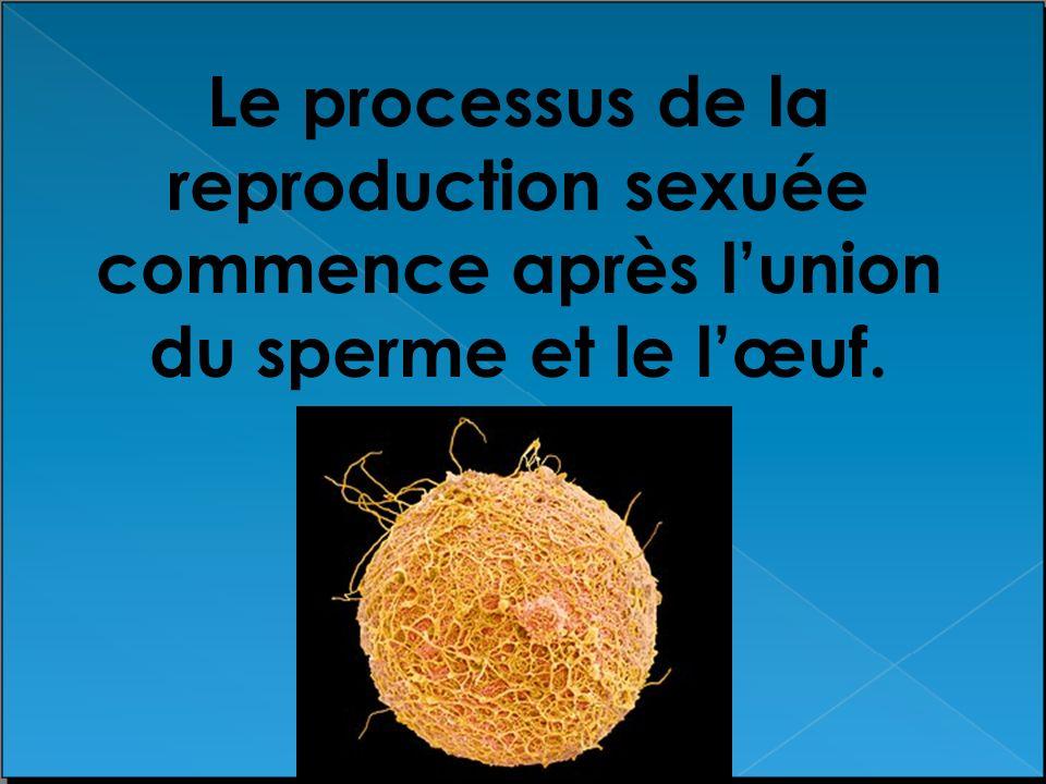 Le processus de la reproduction sexuée commence après lunion du sperme et le lœuf.