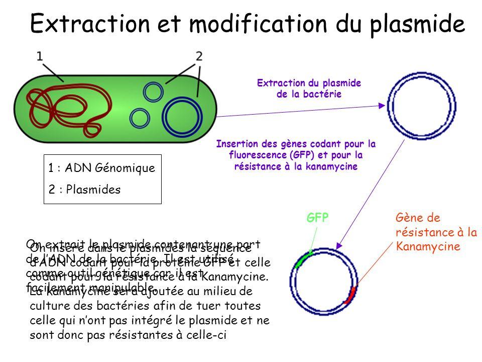 GFPGène de résistance à la Kanamycine 1 : ADN Génomique 2 : Plasmides Extraction du plasmide de la bactérie Insertion des gènes codant pour la fluorescence (GFP) et pour la résistance à la kanamycine Extraction et modification du plasmide On extrait le plasmide contenant une part de lADN de la bactérie.