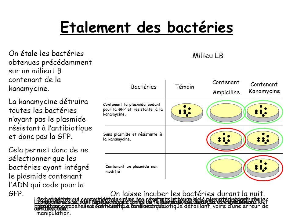 Récupération des plasmides Pour sassurer de la présence des plasmides contenant lADN codant pour la GFP, on tente de les récupérer à lintérieur des bactéries.