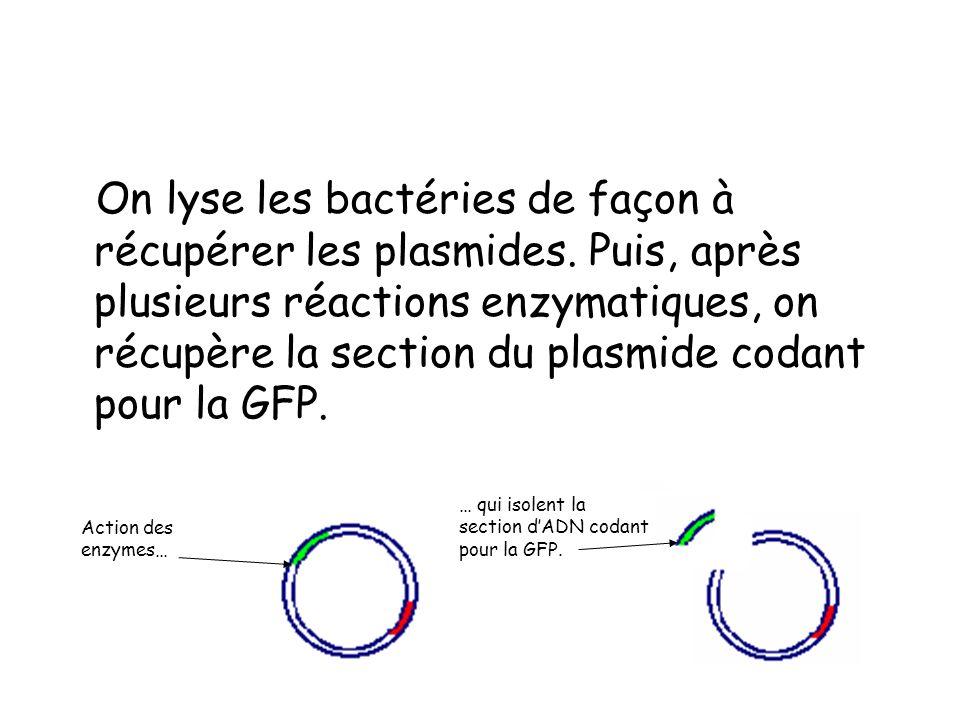 On lyse les bactéries de façon à récupérer les plasmides.
