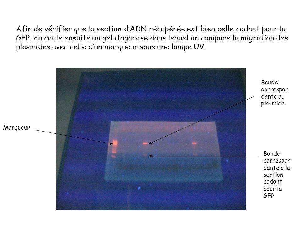 Afin de vérifier que la section dADN récupérée est bien celle codant pour la GFP, on coule ensuite un gel dagarose dans lequel on compare la migration des plasmides avec celle dun marqueur sous une lampe UV.