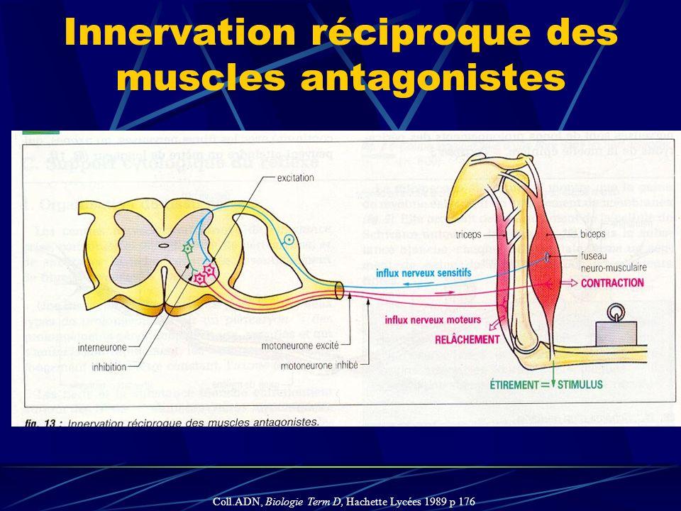 Innervation réciproque des muscles antagonistes Coll.ADN, Biologie Term D, Hachette Lycées 1989 p 176