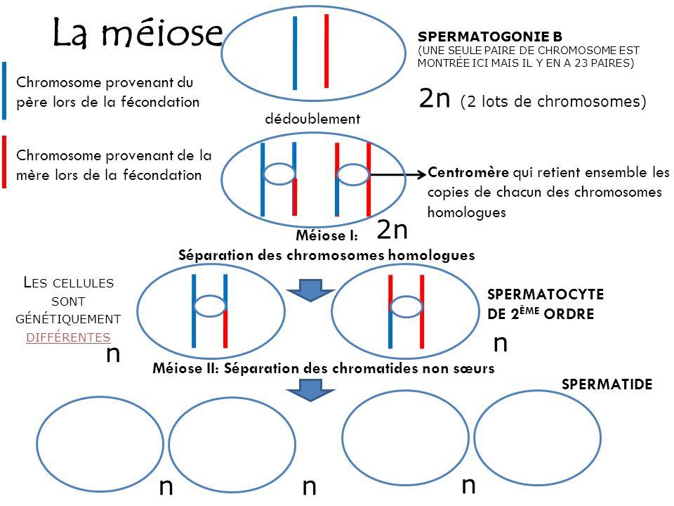 La méiose SPERMATOGONIE B (UNE SEULE PAIRE DE CHROMOSOME EST MONTRÉE ICI MAIS IL Y EN A 23 PAIRES) Centromère qui retient ensemble les copies de chacu