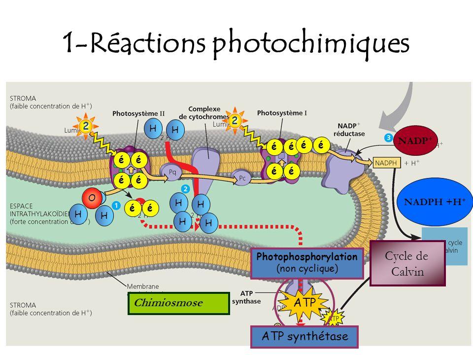 1-Réactions photochimiques 2 éé éé2 éé éé O H H éé H H H H H H ATP ATP synthétase Photophosphorylation (non cyclique) NADP + éé NADPH +H + Cycle de Ca