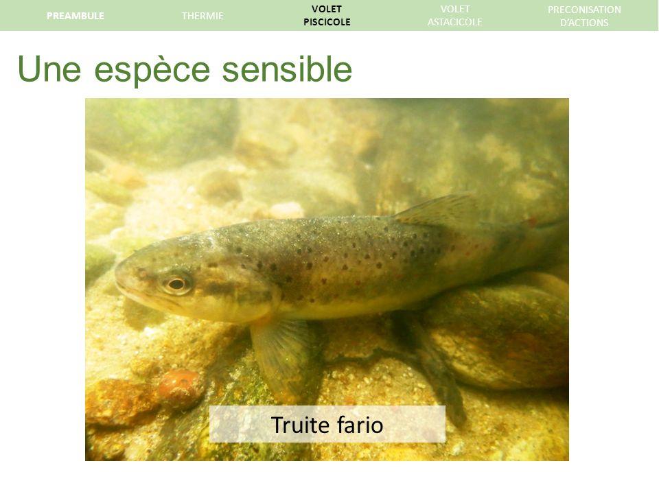 Une espèce sensible Truite fario PREAMBULETHERMIE VOLET PISCICOLE VOLET ASTACICOLE PRECONISATION DACTIONS