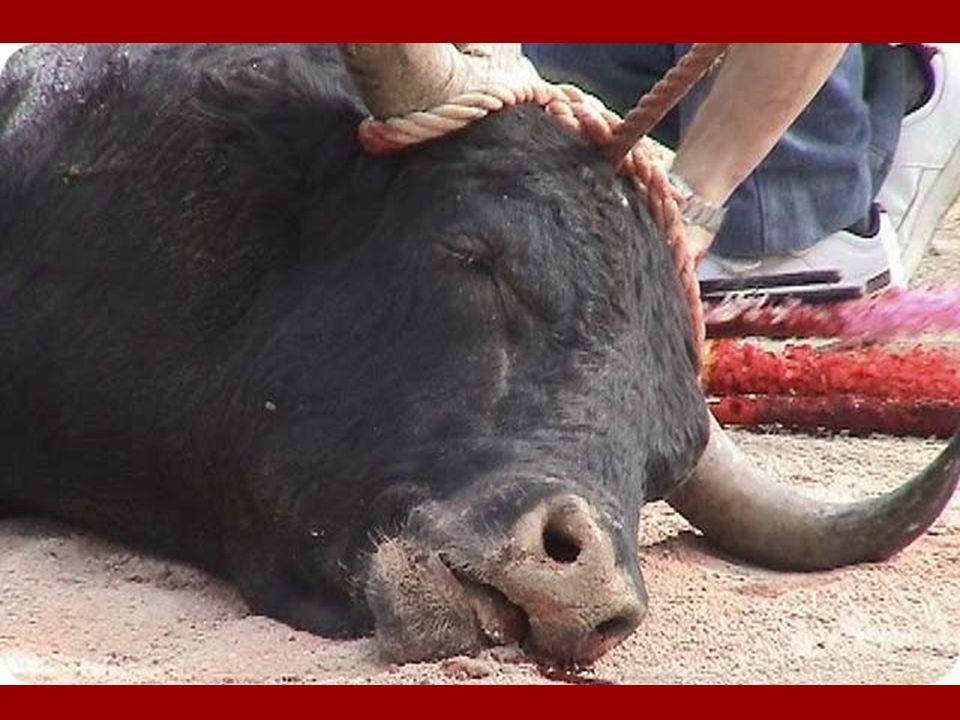 La suite ….. Avant dêtre dépecé, le taureau est vite trainé hors de larêne. Seules preuves de cette horreur, les traces de sang qui jonchent le sol de