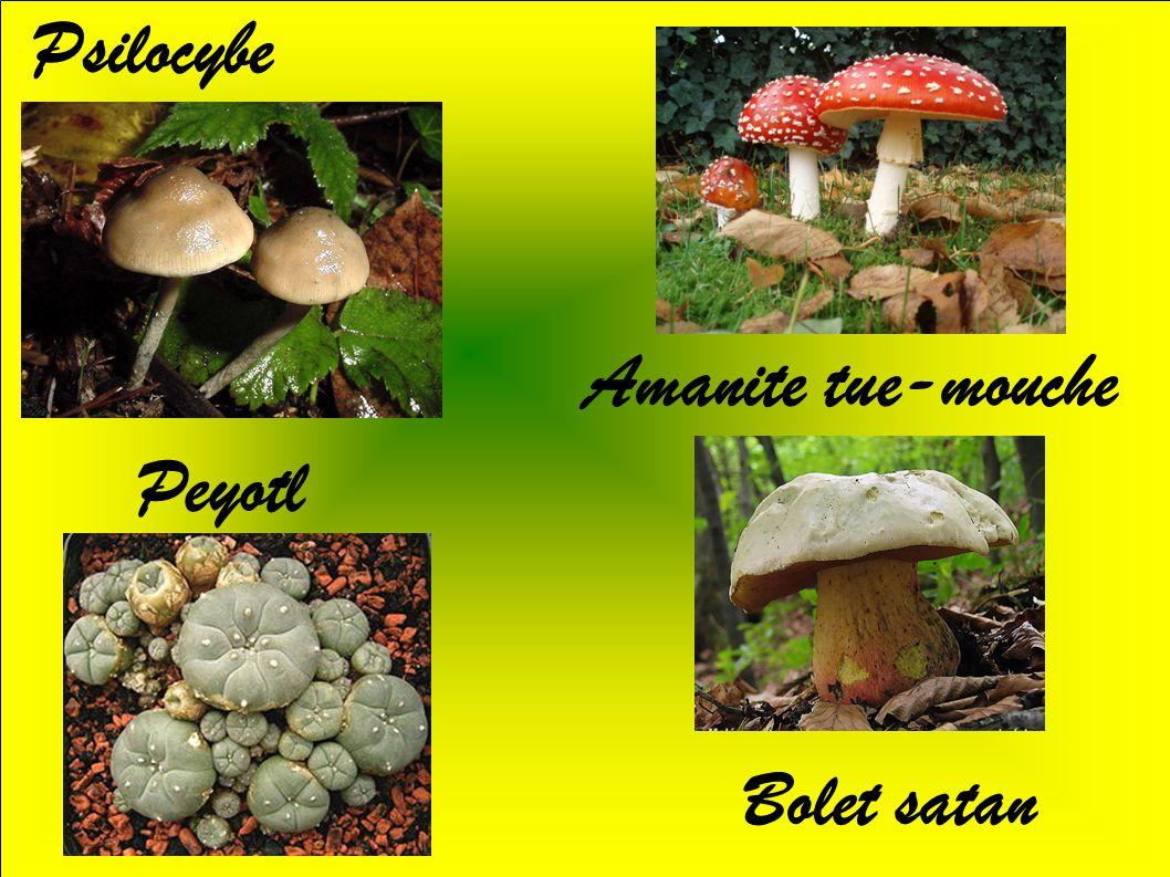 Les amanites mortelles Amanite printanière