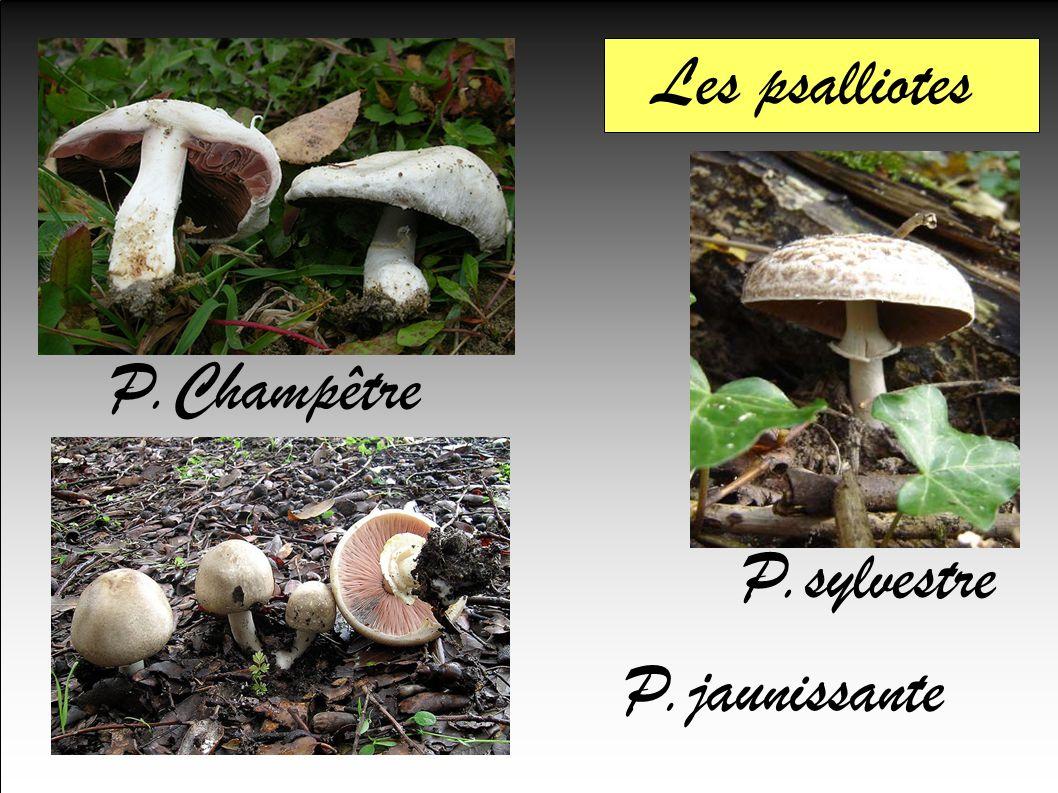 Les psalliotes P.jaunissante P.Champêtre P.sylvestre