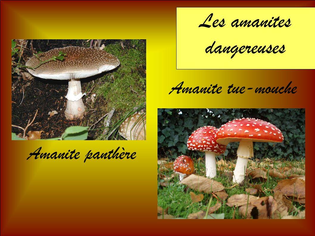 Les amanites dangereuses Amanite panthère Amanite tue-mouche