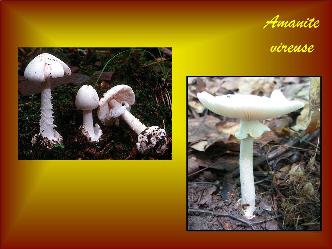Amanite vireuse