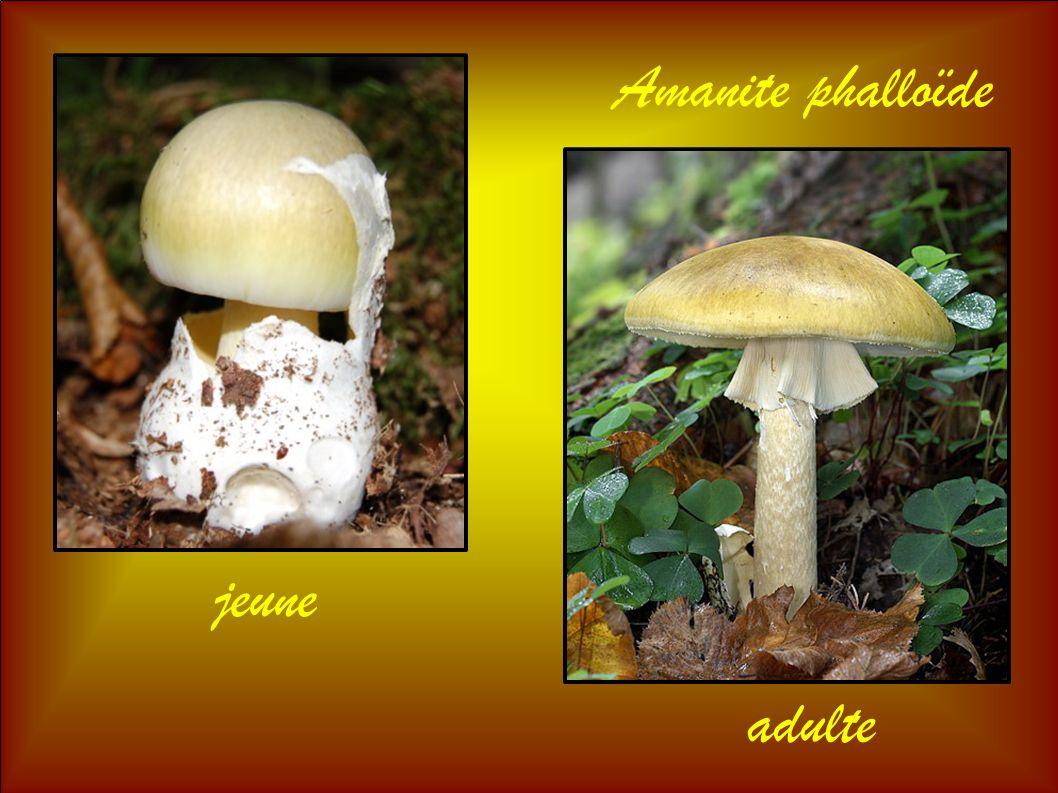 Amanite phalloïde jeune adulte