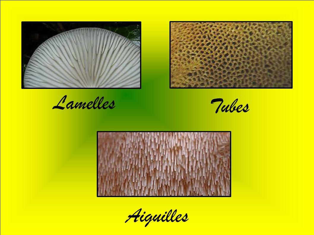 Un champignon dont la chair change de couleur lorsqu on le coupe est toxique : c est faux par exemple le bolet à pied rouge dont la chair bleuit à la cassure est comestible.