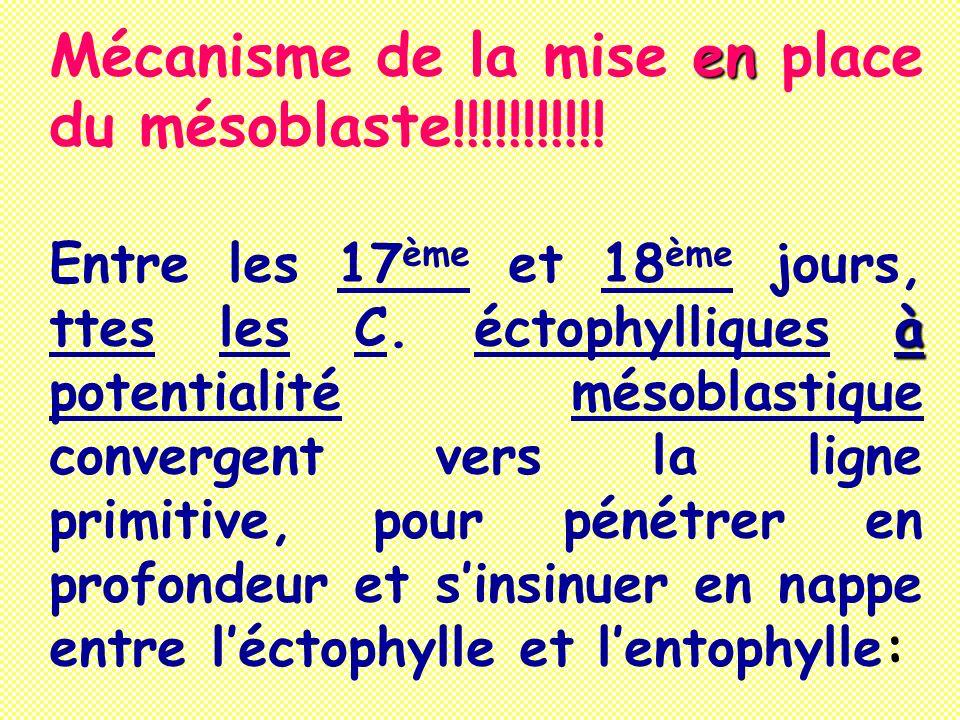 Mécanisme de la mise e ee en place du mésoblaste!!!!!!!!!!! Entre les 17 ème et 18 ème jours, ttes les C. éctophylliques à àà à potentialité mésoblast