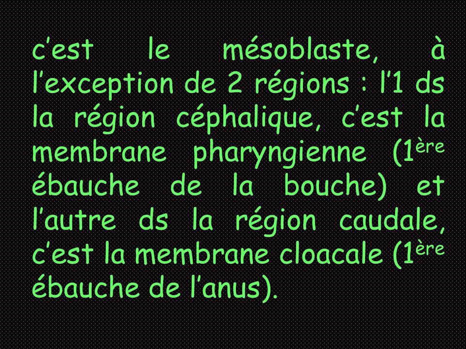 cest le mésoblaste, à lexception de 2 régions : l1 ds la région céphalique, cest la membrane pharyngienne (1 ère ébauche de la bouche) et lautre ds la