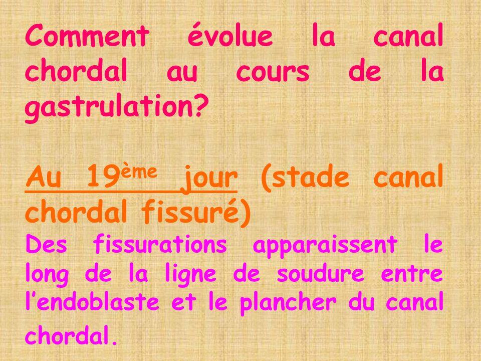 Comment évolue la canal chordal au cours de la gastrulation? Au 19 ème jour (stade canal chordal fissuré) Des fissurations apparaissent le long de la