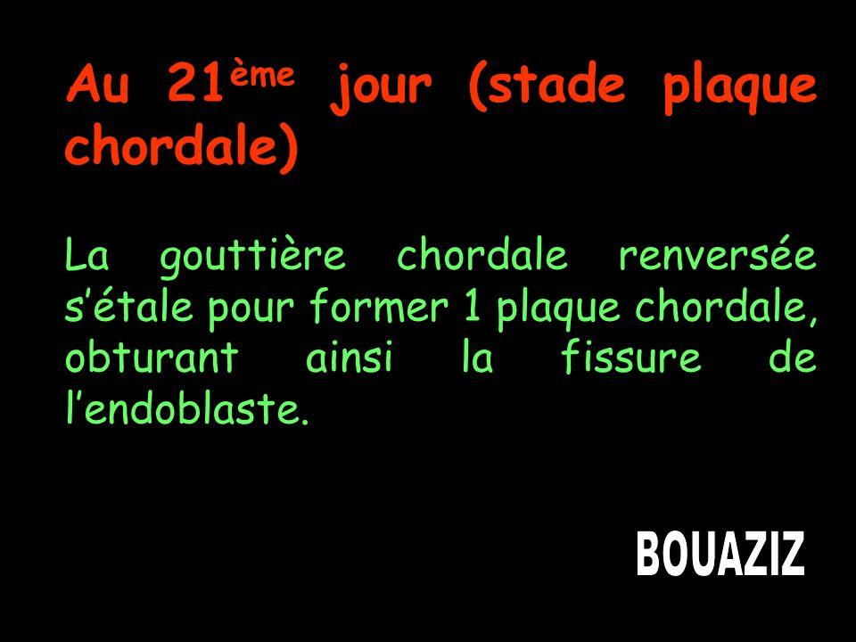 Au 21 ème jour (stade plaque chordale) La gouttière chordale renversée sétale pour former 1 plaque chordale, obturant ainsi la fissure de lendoblaste.