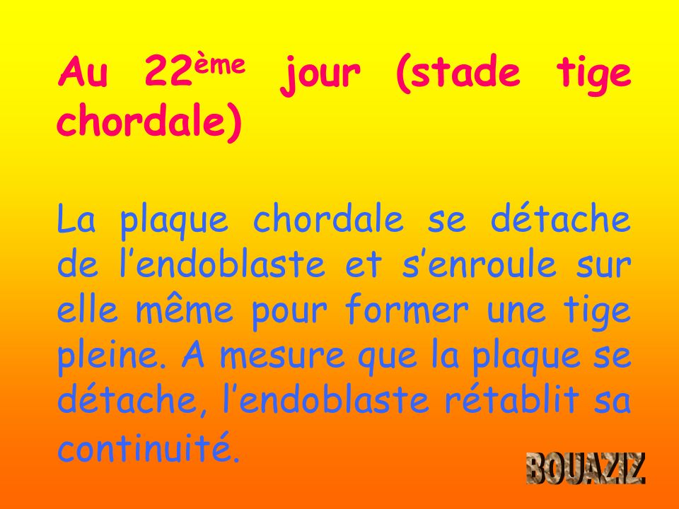 Au 22 ème jour (stade tige chordale) La plaque chordale se détache de lendoblaste et senroule sur elle même pour former une tige pleine. A mesure que