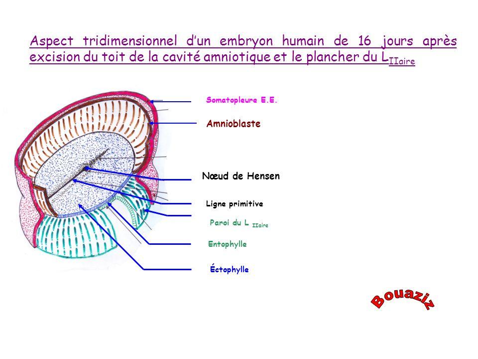 Somatopleure E.E. Amnioblaste Nœud de Hensen Ligne primitive Entophylle Éctophylle Aspect tridimensionnel dun embryon humain de 16 jours après excisio